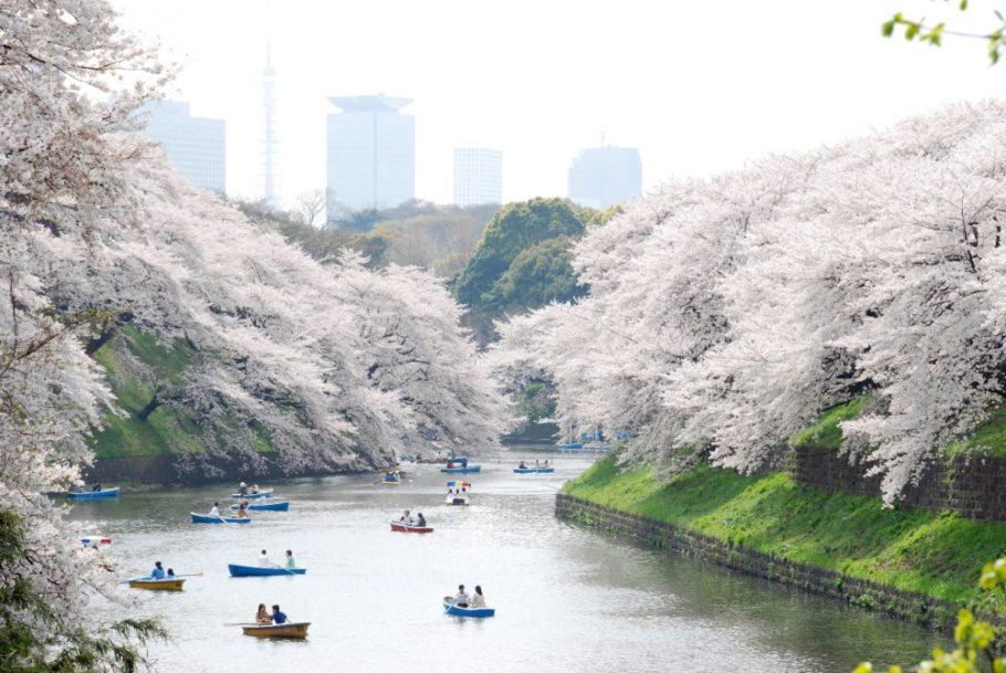 Цветущие сады сакуры в Японии