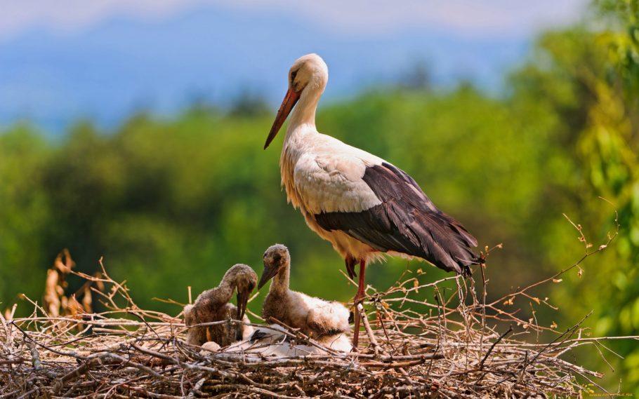 Гнездо аистов в Польше