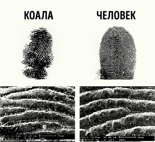 Отпечатки пальцев коалы и человека