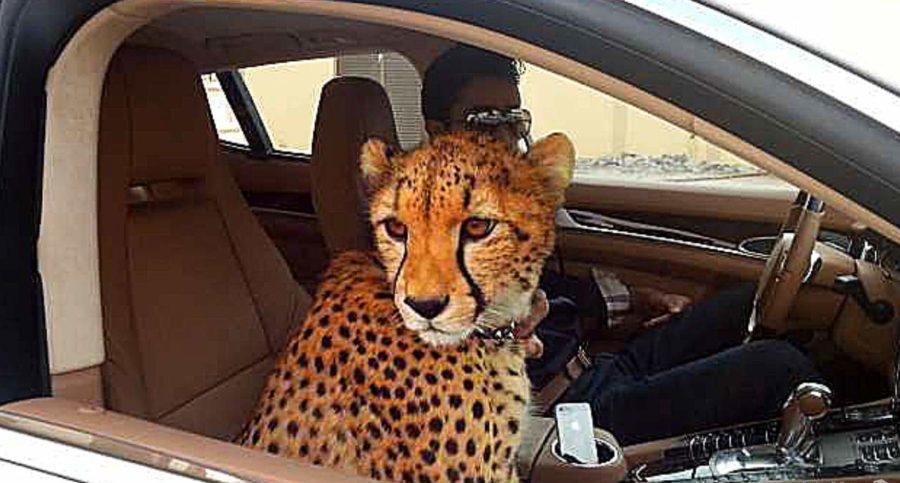 Ручной гепард