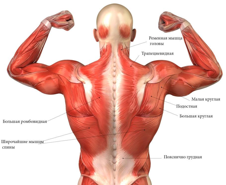 анатомия тела с названиями мышц