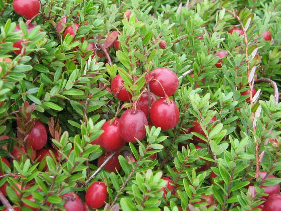ягоды клюквы на кусту