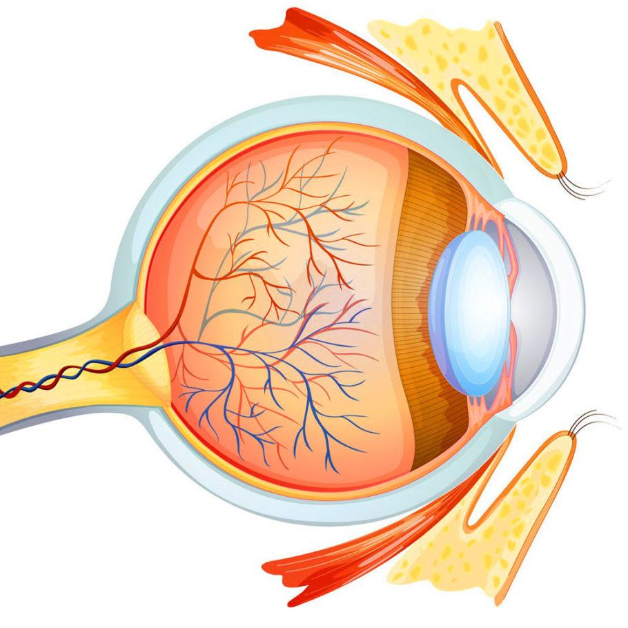 Схема человеческого глаза