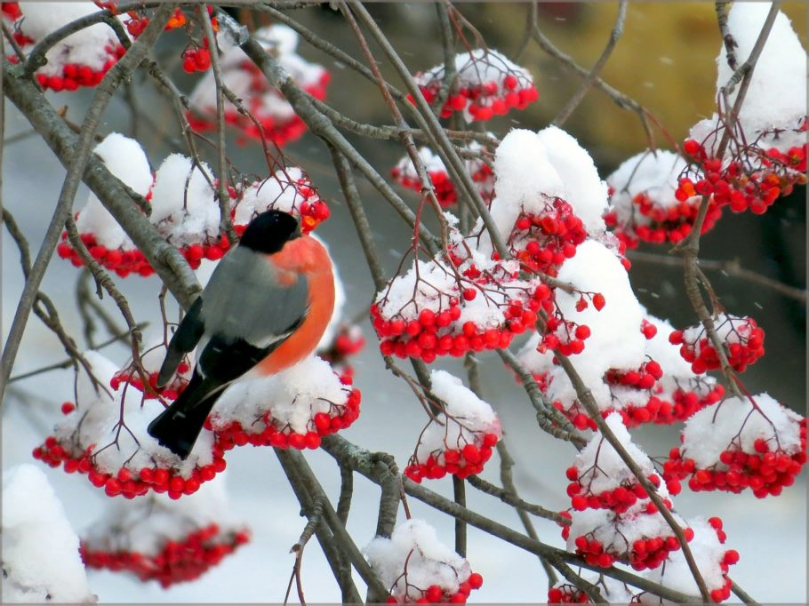 зима, снегирь и рябина