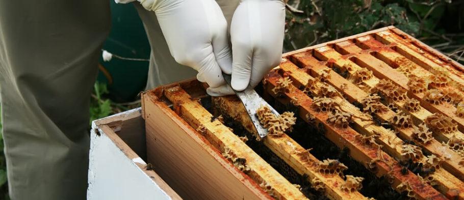 извлечение сот из пчелиного улья