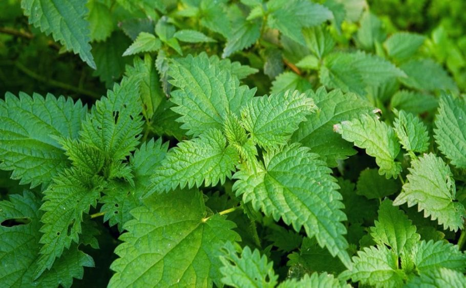 растение мята
