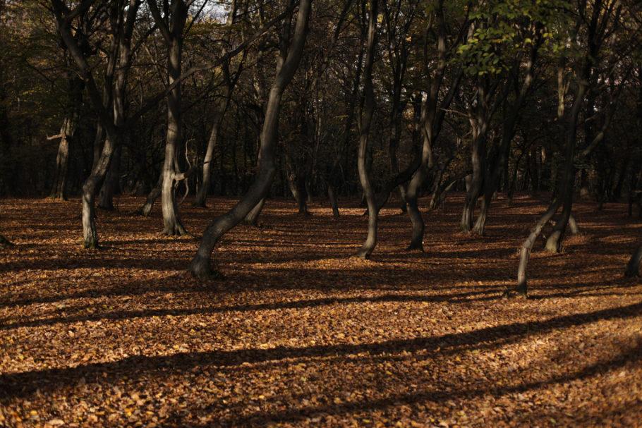 Лес Хоя-Бачу в Румынии