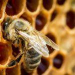 Эффективно ли лечение аденомы предстательной железы пчелиным подмором