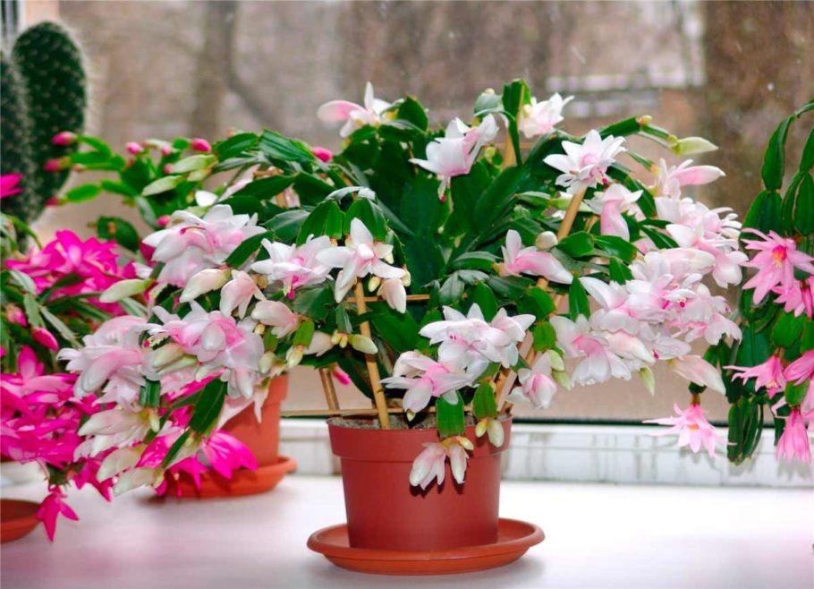 Цветок может расти и в темных комнатах, поэтому спальня ему тоже отлично подойдет