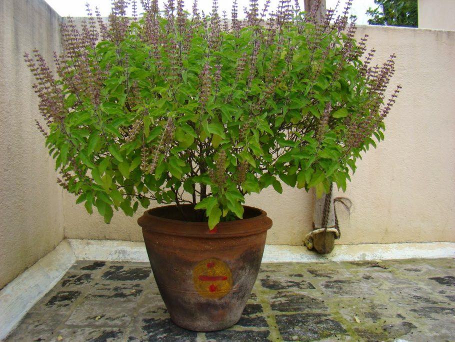 Запах листьев этого растения успокаивает нервную систему и снижает беспокойство