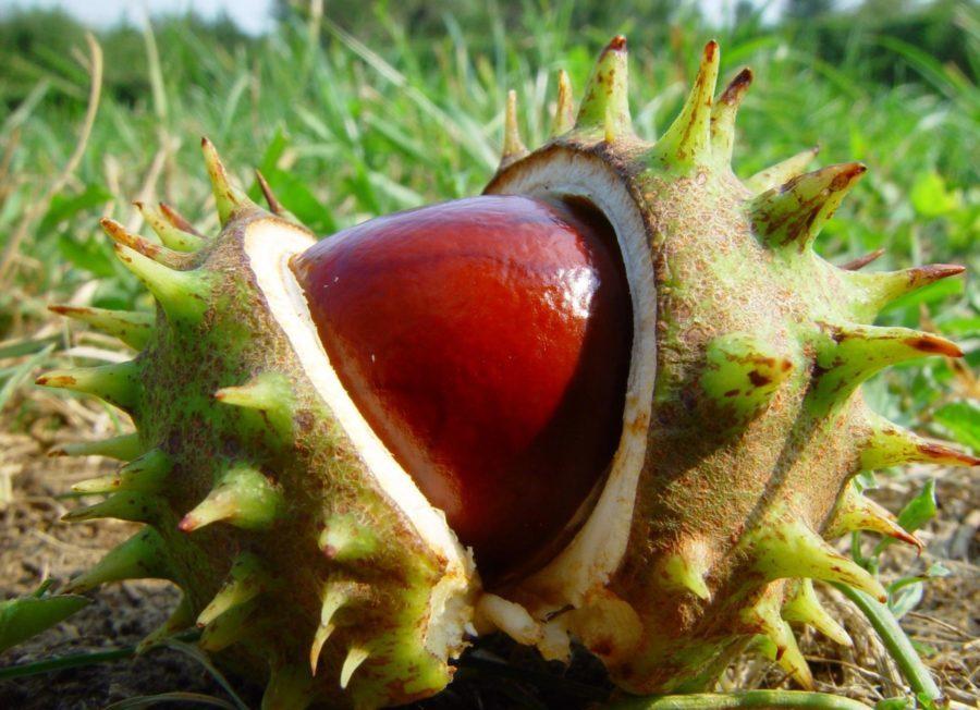 Употребление кожуры данного растения также снижает прикрепление тромбоцитов к стенке сосудов и способствует усиленному венозному оттоку