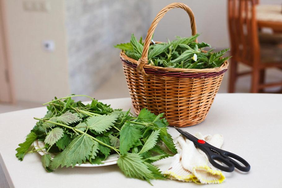 Обыкновенно для терапевтических целей используют высушенные листья растения, которые были собраны в период цветения – с мая по июль