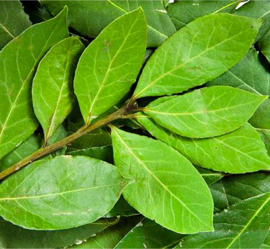 веточка с листьями лавра