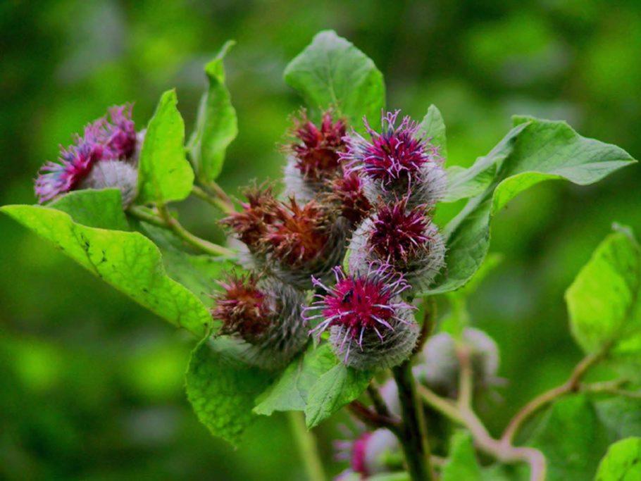Репейник, другое название лекарственного растения, помогает при отеках перианальной области, когда наружные геморроидальные узлы воспалены