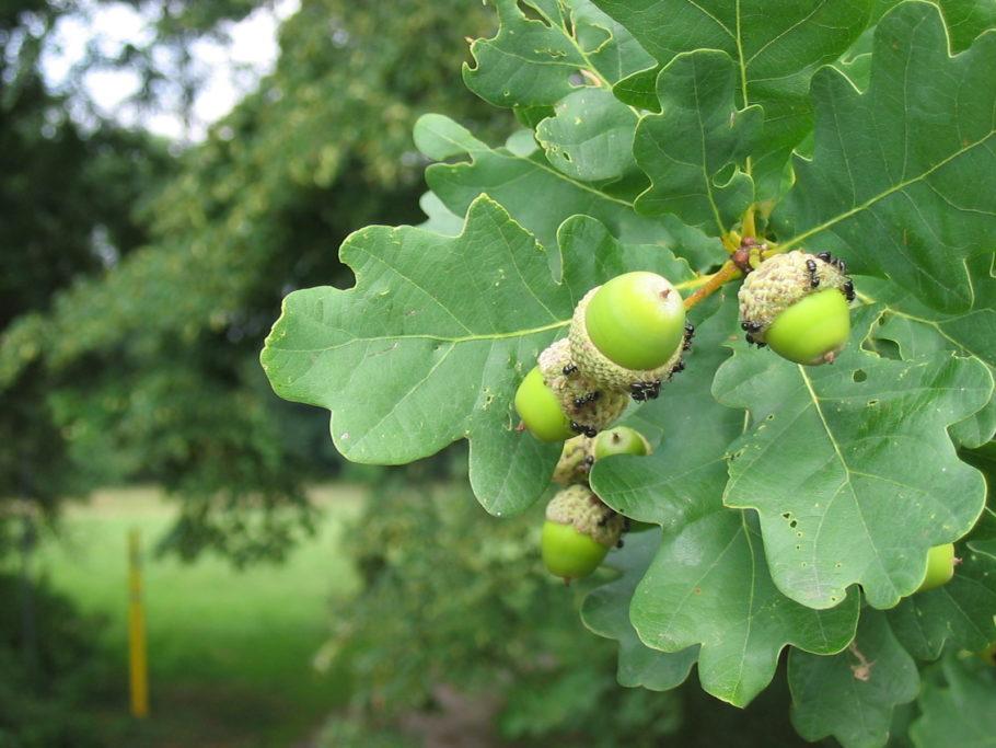 В народной медицине кора этого многовекового растения используется в большей степени благодаря его кровоостанавливающему действию