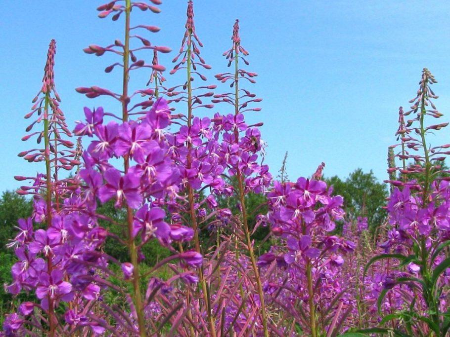 Встречается часто и является очень полезной травой, помогающей в борьбе против многих болезней