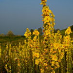 Трава корояк на поле