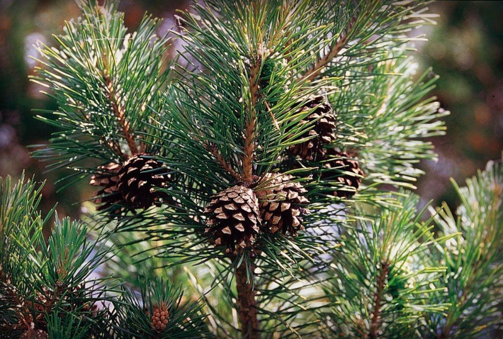 Шишки на елке