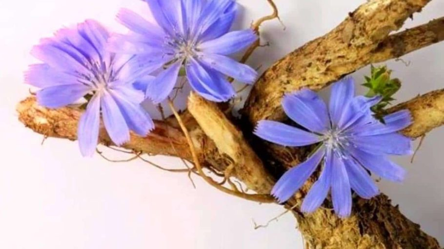 Цвет и корни цикория