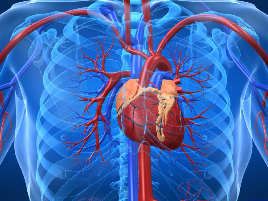 Схема сердечно-сосудистой системы